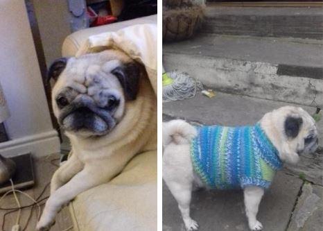 Heartbreak for family as beloved pug is feared stolen from Bradford