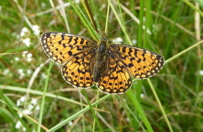 A butterfly on Swarth Moor