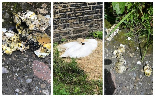 The swans, centre, and their destroyed eggs in Shipley