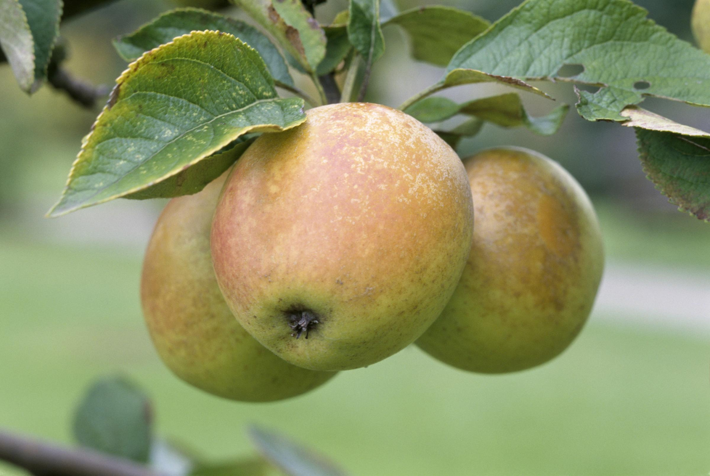 Volunteer for Bradford's annual apple day