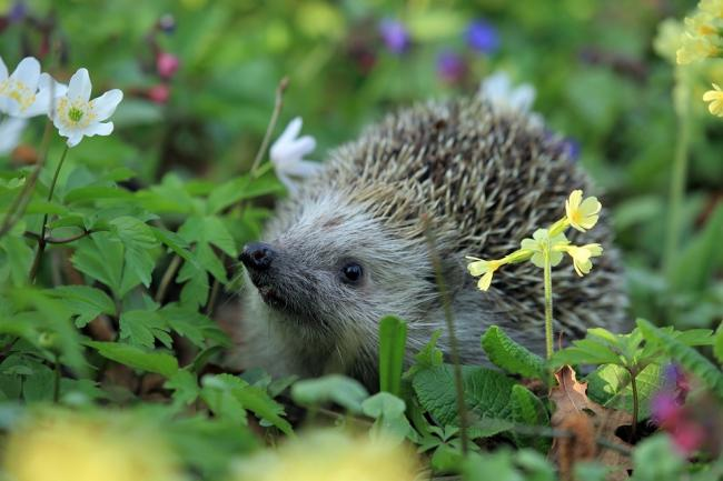 Look after hedgehogs this Autumn. Pic: Pixabay