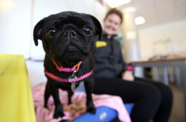 A Stay Safe event is held at Keighley College for school children. Laura-Jane Muscroft from the Dogs Trust along with her dog Winnie, a pug breed talks to children from St Joseph's Primary School in Keighley about dog safety..