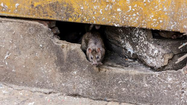 Bradford Telegraph and Argus: How to prevent rats in your home. Credit: BPCA