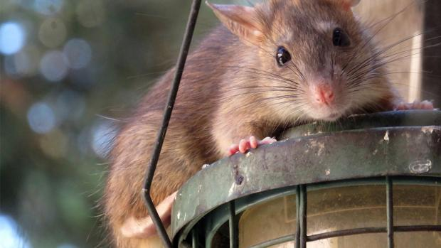 Bradford Telegraph and Argus: What to do if you think you have rats. Credit: BPCA
