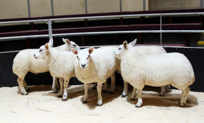 Lambs ready to be sold at CCM. File photo