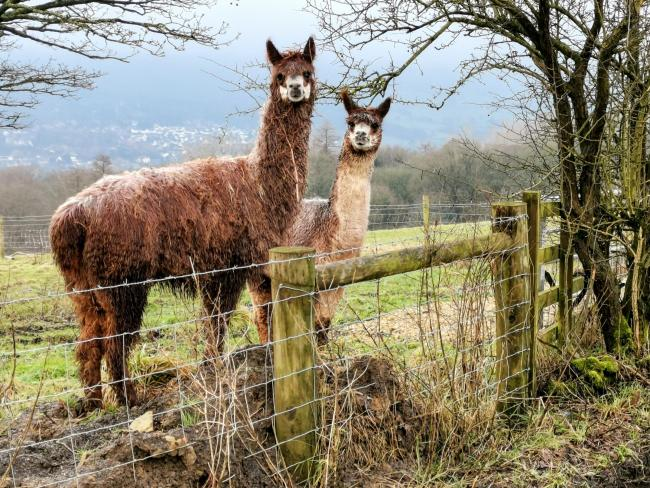 Two inquisitive visitors taken at Slates Lane, Ilkley, by Mike Hutton