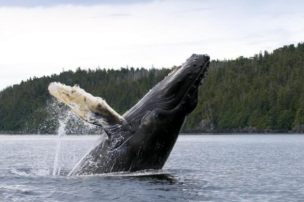 A humpback whale in the Kenai Fjords