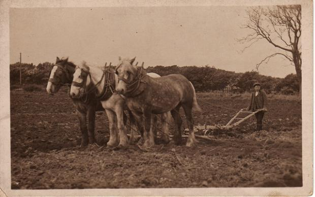 Ron Creasey at work in the fields with plough and a team of horses