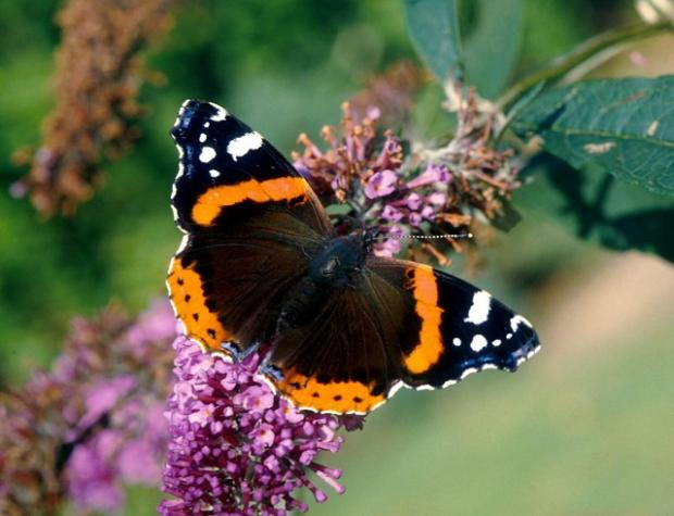Buddleia is the key species to attract colourful red admirals