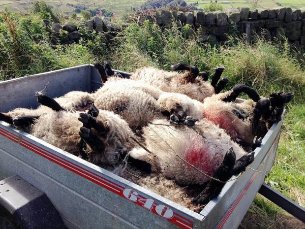 The sheep which were attacked at Elm Tree Farm, Oxenhope