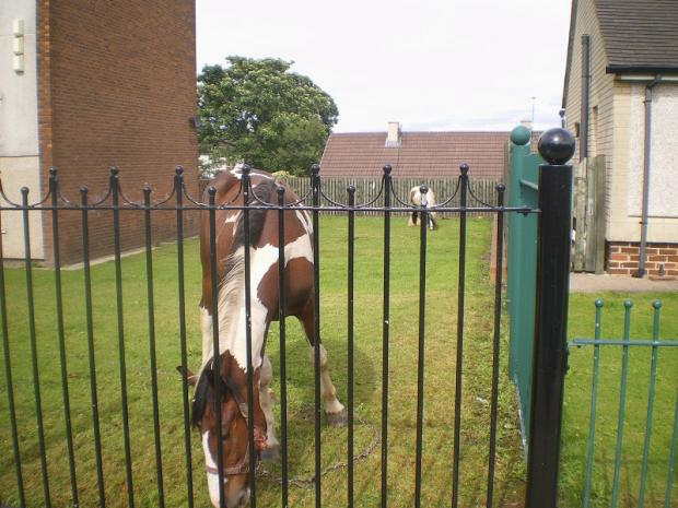 A stray horse left to graze garden grass at an Incommunities property