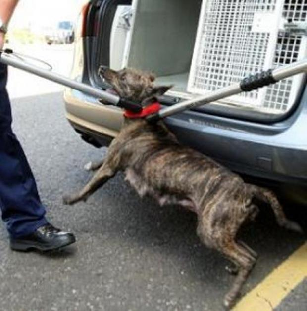 A dangerous dog being apprehended
