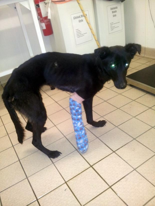 Recovering: Cross breed Bobby was found in a Keighley churchyard