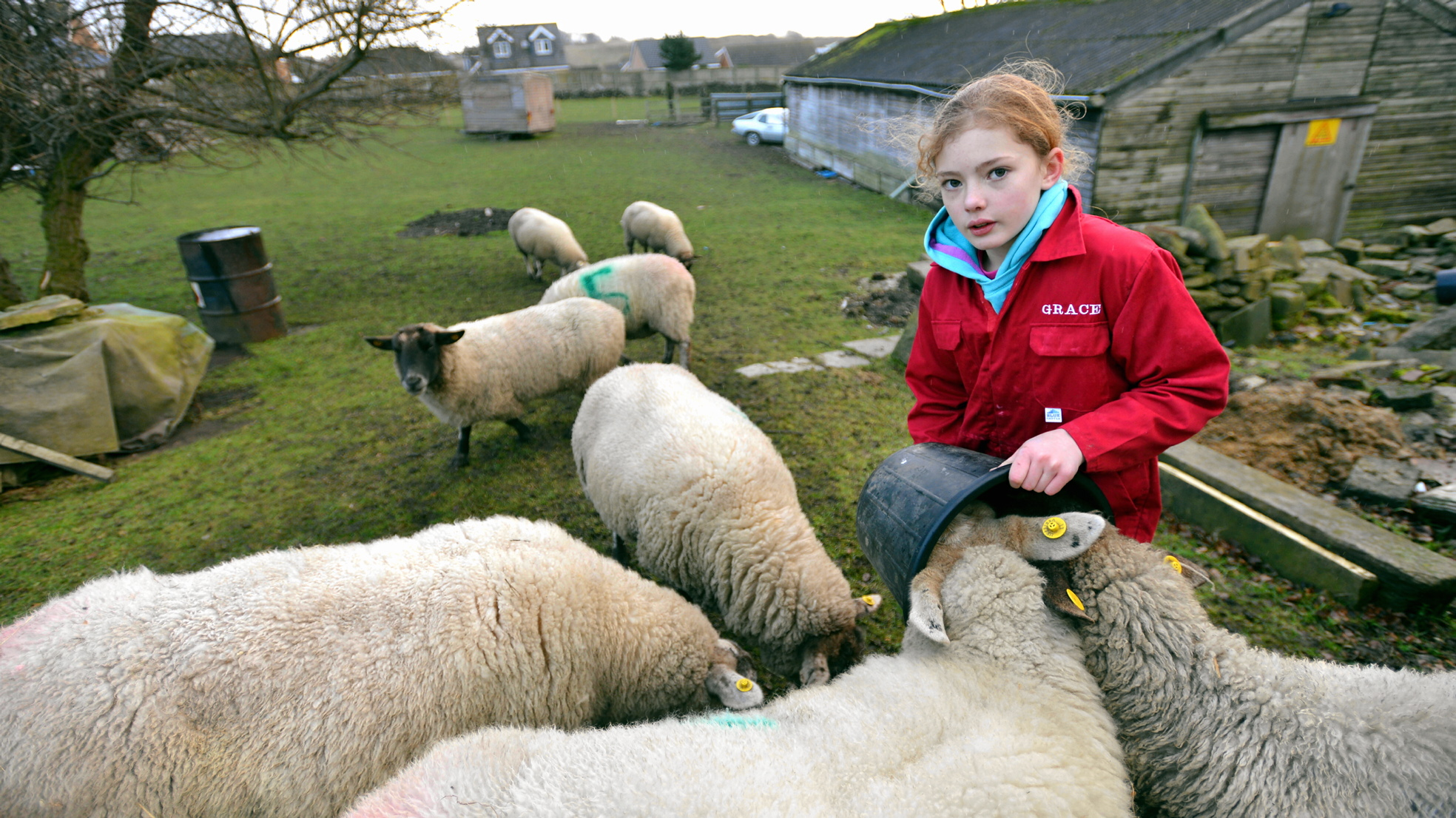 Sheep at Oakbank Farm, Wrose, are tended by Grace after the death of pregnant sheep Miggledy