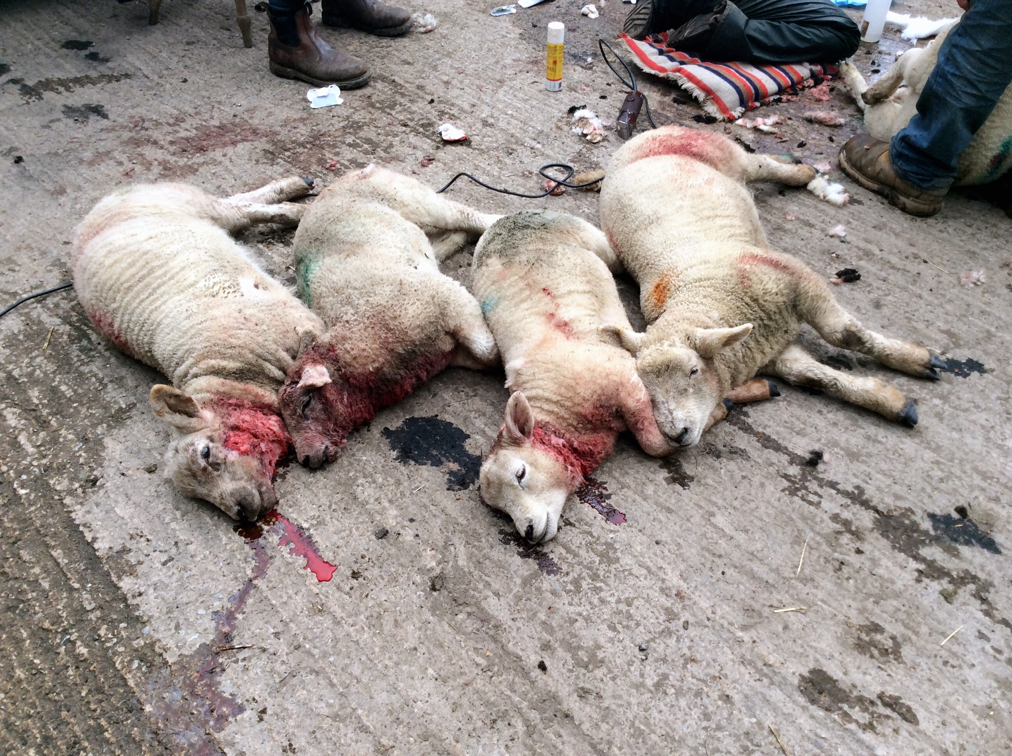 Some of the animals left dead by the dog attack on a flock of sheep in a field on an Otley Chevin farm