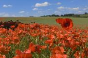 Poppies will be a fitting addition to your garden this year