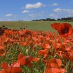 Bradford Telegraph and Argus: Poppies will be a fitting addition to your garden this year