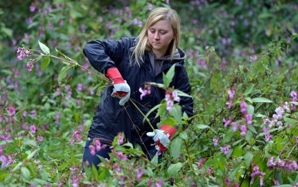 Gemma Breese getting to grips with the invasive weed Himalayan Balsam