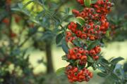 Firethorn is among the Metropolitan Police list of shrubs for deterring thieves