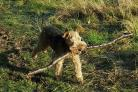 Dylan the Welsh Terrier carries a stick in his mouth, as a leading vet warned of the dangers of throwing sticks for dogs after reports of a rise in pets receiving terrible injuries.