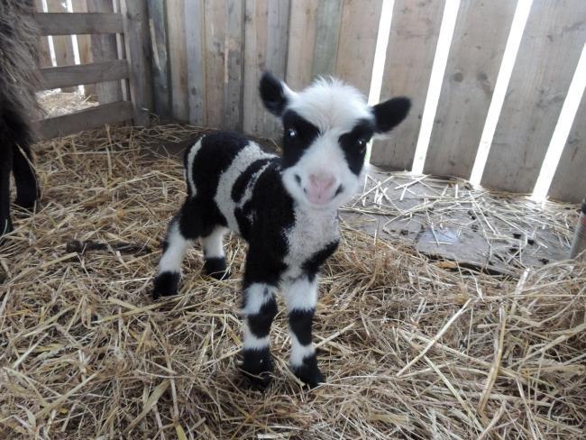 moo the sheep that looks like cow now having lambs bradford