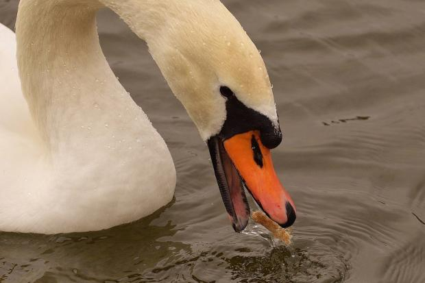 Bradford Telegraph and Argus: A swan with angel wing eats bread.