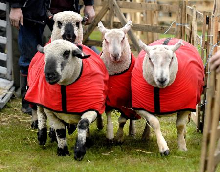 Sheep show off their alternative coats at the show.