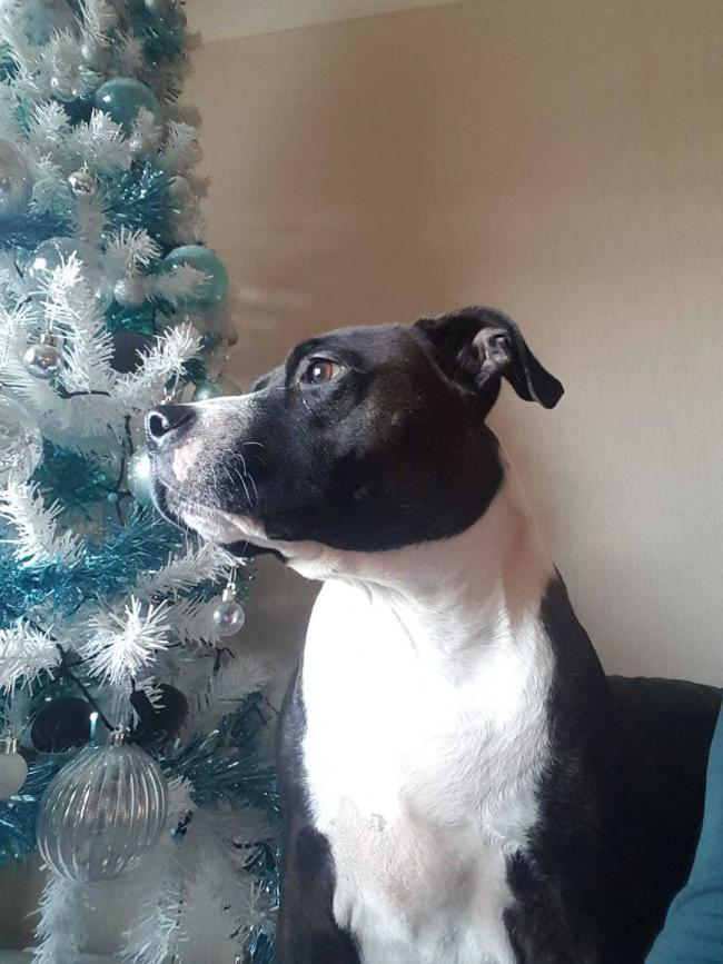 Bella the Xmas staffy