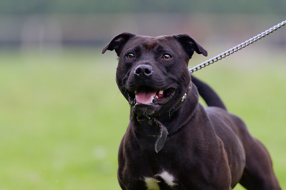 A Staffordshire Bull Terrier (stock photo).