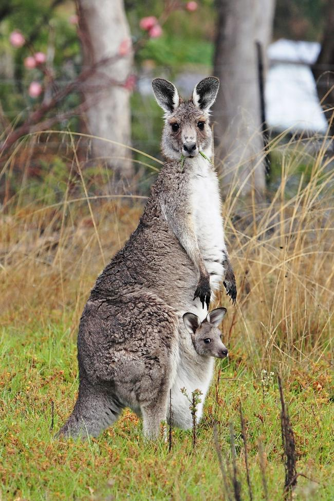 There are various support animals that can be used for those with mental health needs, including kangaroos