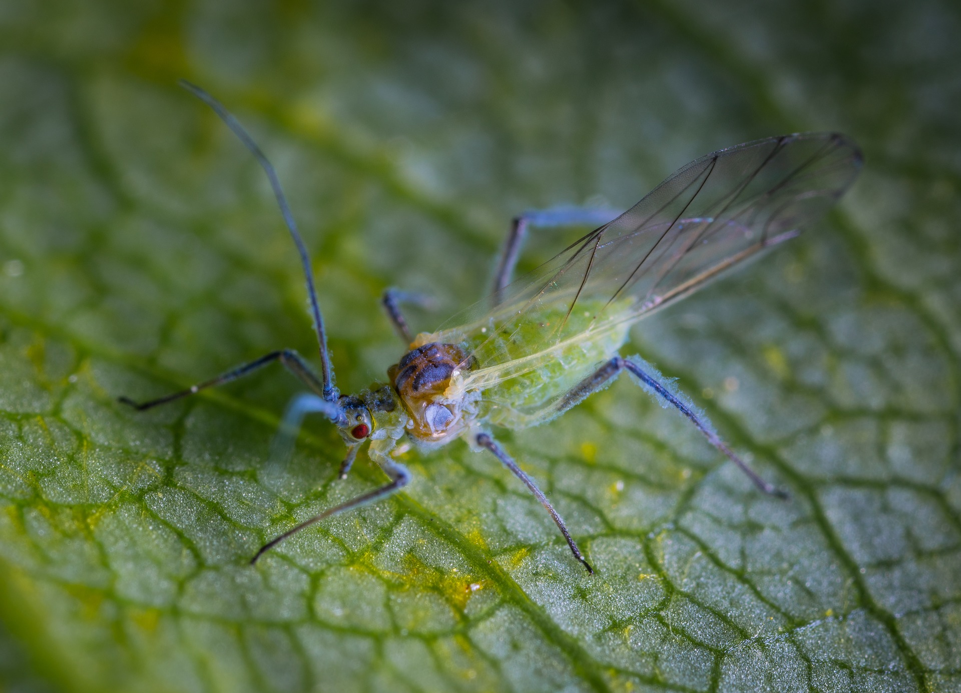 Why are there so many greenfly around?