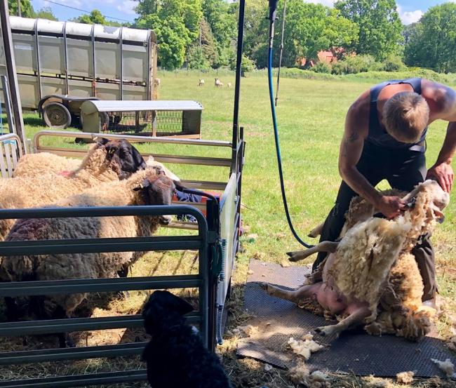 Sheep shearer faces £10,000 loss after tools pinched in Shipley