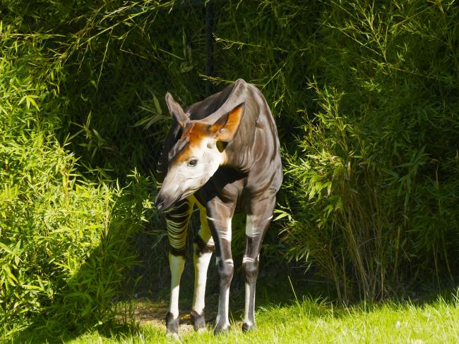 The fundraiser for the endangered Okapi is being held on North Parade this Saturday. Picture: Pixabay